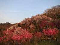 花見山16